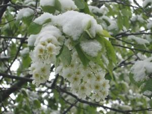 фотосессия черёмухи в снегу