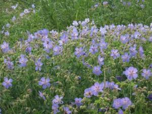 фото полевых цветов