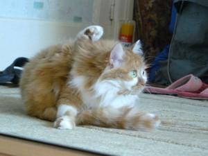 кошка-гимнастка